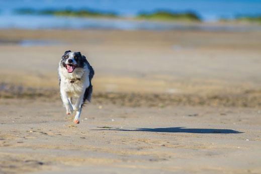 Hund am Strand, Urlaub mit Hund in der Normandie