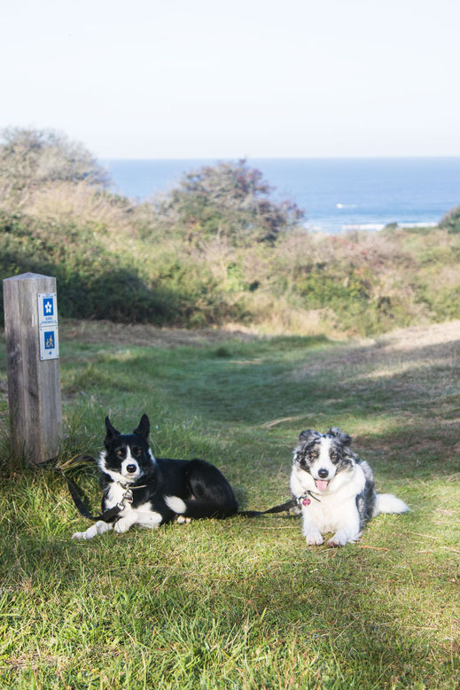 Zwei Border Collies in den Dünen von Hatainville
