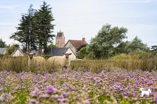 Zwei Schafe stehen in den Salzwiesen von Saint-Germain-sur-Ay