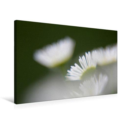 Valerie Forster, Foto-Leinwand, Calvendo, Das sprechende Gänseblümchen
