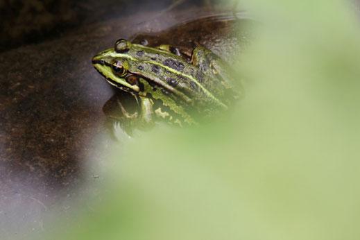 Valerie Forster, Liebe zur Natur, Frosch