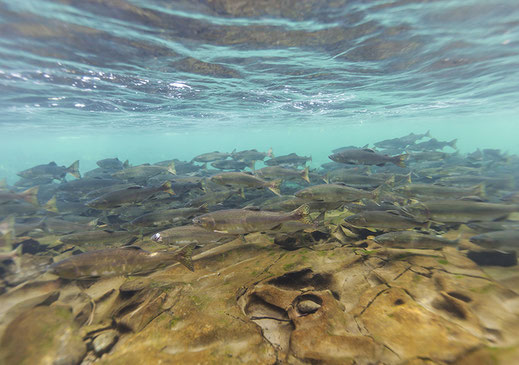Underwater picture of a school of salmon preparing to spawn up the Puntledge River near Courtenay.