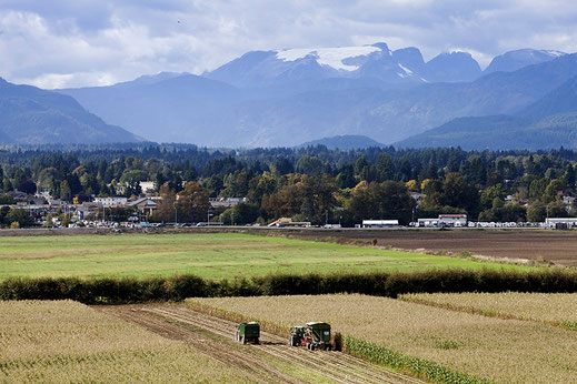 A farm tractor cutting corn in the field with the Comox Glacier in the background.