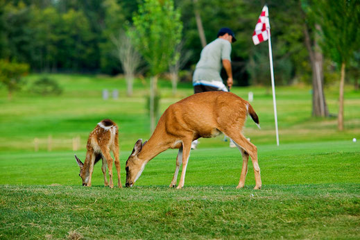 Deer and fawn eating grass on golf course in Comox with a golfer on the green behind