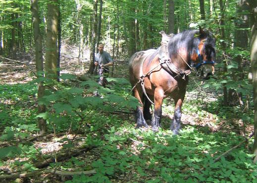 Rückepferd im Kölner Wald
