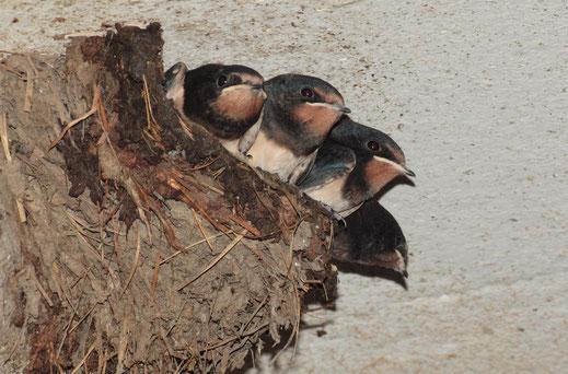 Vier Rauchschwalbenjunge im Nest