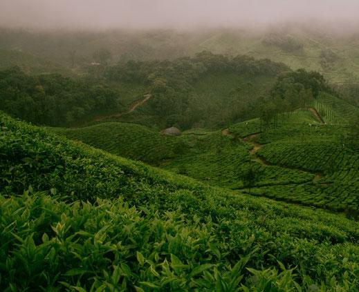 Bild: Matcha Tee Pflanzen in Uji bei Kyoto in Japan Teeplantage