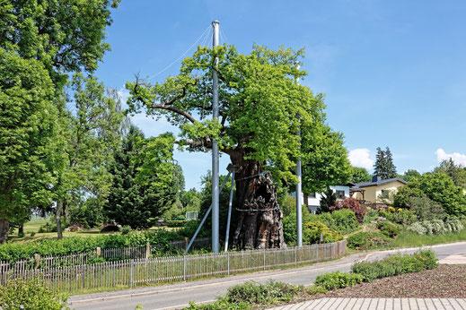 Grabeiche in Nöbdenitz