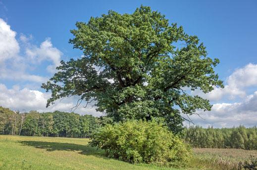 Eiche am Fasanenbusch bei Helmsdorf