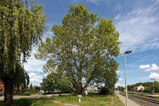 Platane in Ronneburg