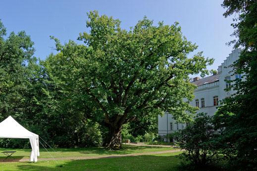 Eiche im Schlosspark von Schlemmin