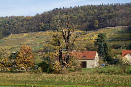 Eiche am Schöpsdamm bei Pillnitz