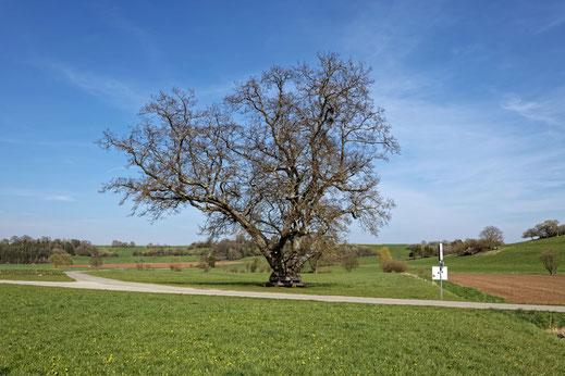 Obere Linde bei Hildrizhausen
