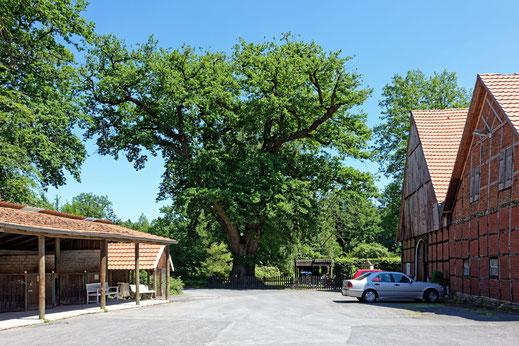 Warendorf, Hofeiche