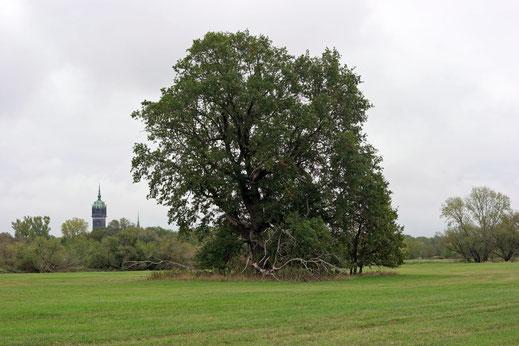 Eiche bei Wittenberg