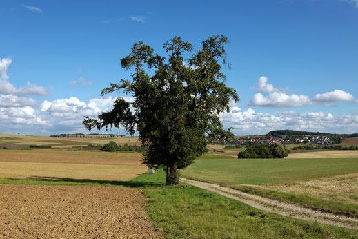 Birne bei Gauaschach