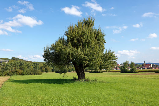 Birne bei Untereuerheim