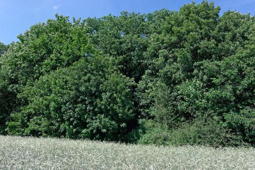 Eiche auf dem Burgwall bei Treskow