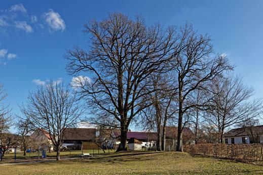 Eiche in Postbauer-Heng