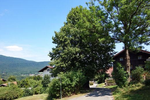 Räuber-Heigl-Linde in Gotzendorf