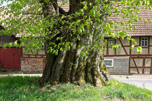 Dorflinde in Harbach