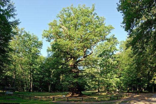 Große Eiche im Ivenacker Tiergarten bei Ivenack