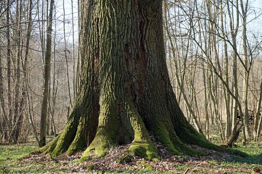 Eiche im Wald bei Gut Sierhagen