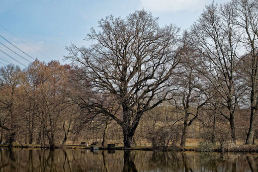 Eiche bei Langewiesen