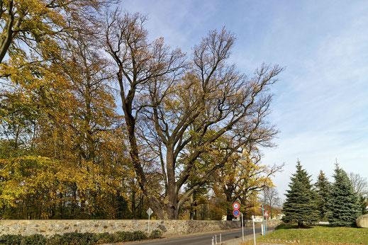 Eiche an der Mauer im Schlosspark in Pulsnitz