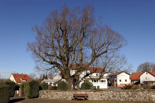 Friedhofslinde in Fischborn