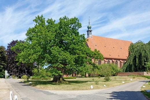 Eiche beim Kloster Preetz in Preetz