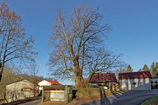 Dorflinde in Haimburg