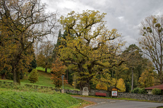 Alte Eiche mit Bildstock in Molsberg