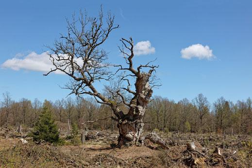 Gerichtseiche Gahrenberg im Reinhardswald bei Holzhausen