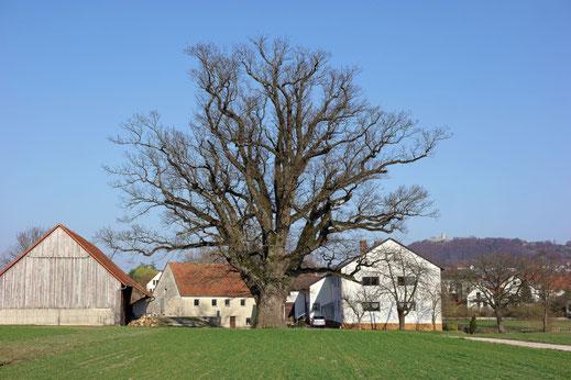 Eiche in Neumarkt in der Oberpfalz