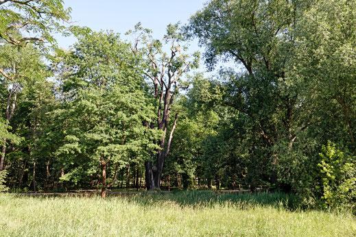Eiche im Schloßpark in Elsterwerda