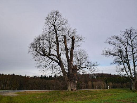 Linde bei Klosterlangheim