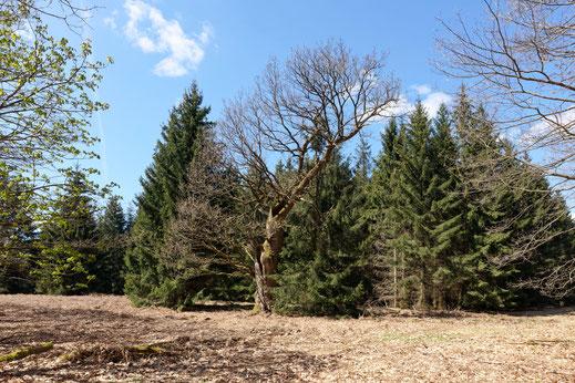 Lohengrineiche im Reinhardswald