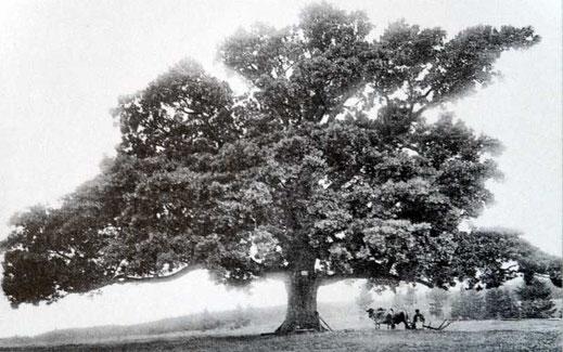 Kreuzeiche bei Hürbel um 1902