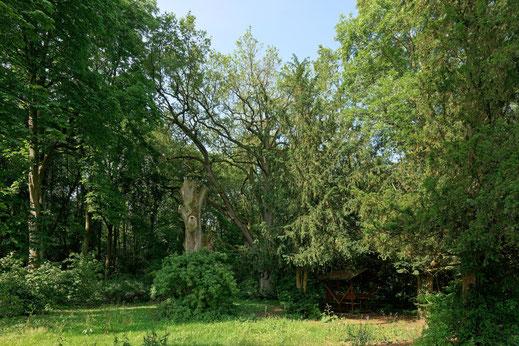 Eiche auf dem Gutshof in Schönfeld