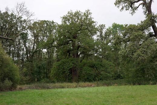 2. Eiche der Eichengruppe im Severtin bei Wörlitz