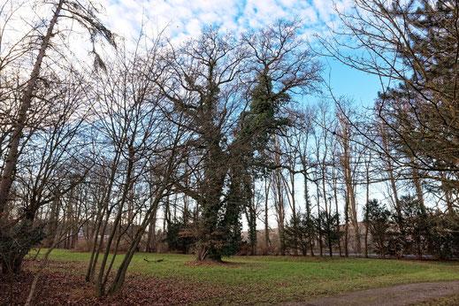 Eiche im Park Schönbusch bei Aschaffenburg