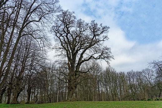 Eiche im Park von Gut Krieseby