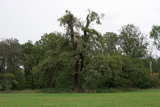 1. Eiche der Eichengruppe im Severtin bei Wörlitz
