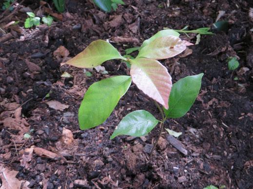 Ausgepflanzte Jungpflanze von Quercus glauca in Schaffhausen.