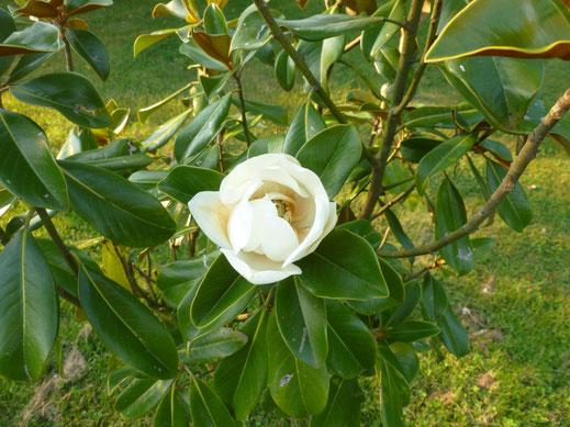 Magnolia grandiflora (immergrüne Magnolie) in Blüte