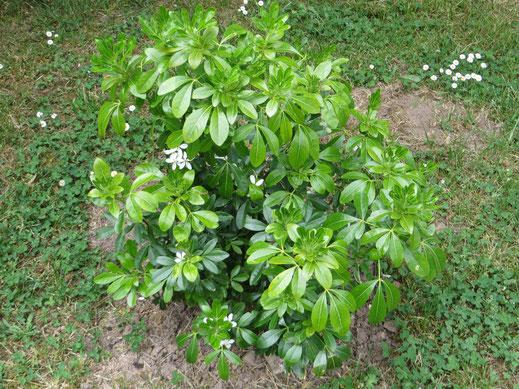 Choysia ternata ausgepflanzt im Burgund