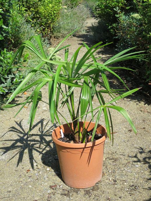 3 jährige Trachycarpus latisectus (Windamere Palme)
