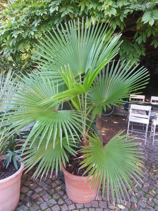 Trachycarpus martianus (Nepal) im Herbst 2014 (2007 als 40 cm hohe Jungpflanze erworben)