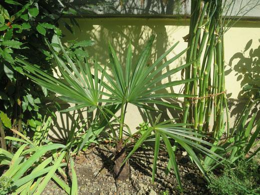 Trachycarpus geminisectus, ausgepflanzt in Schaffhausen